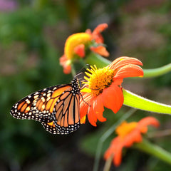 Mexican Sunflower Tithonia with Monarch Butterfly