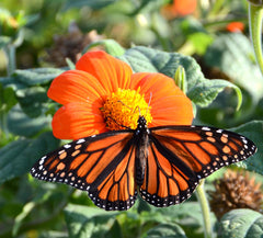 Monarch Butterfly on Mexican Sunflower Tithonia Flower