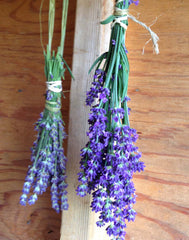 English Lavander in the drying shed. Lavandula angustifolia English Lavender