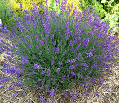 English Lavender Lavandula angustifolia in the herb garden.