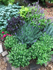 Herb Garden Plants for Ornamental Gardens