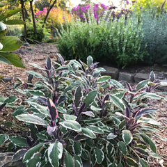 Tricolor Sage in the Ornamental Herb Garden