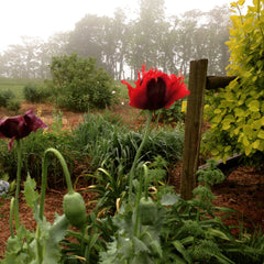 Growing Colorful Poppies In The Garden – Mountainlily Farm