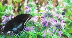 Lemon Bergamot or Lemon Bee Balm with Swallowtail Butterfly Herb Garden
