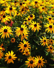 Rudbeckia Black Eye Susan