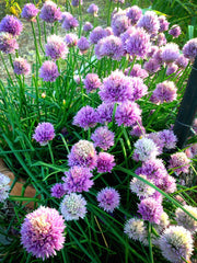 Chive blooms in the Spring Garden
