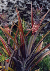 Pineapple Plant in bloom at Coral Castle Homestead, Florida
