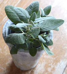 Sage- Great for Container Grown Herb Gardens