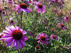 Tennessee Coneflower Echinacea tennessiensis