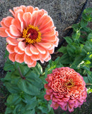 Giant Salmon Rose Zinnia Seeds Benary's Zinnias
