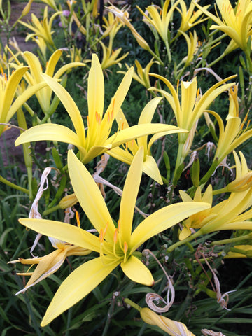 Night Blooming Daylily Hemerocallis lilioasphodeulus