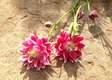 Aquilegia Mixed Color Seeds