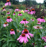 Purple Coneflower Seeds Great for Butterfly Gardens