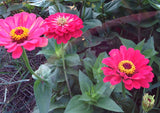Heirloom Zinnia For Cut Flowers
