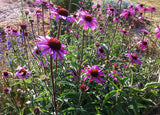 Echinacea tennessiensis Purple Coneflower Seeds