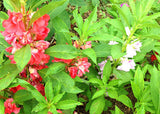 Mixed Colors Balsam Seeds Annual Impatiens