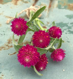 Gomphrena Seeds for Dried Flowers