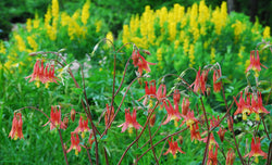 Eastern Red Columbine Aquilegia canadensis Seeds