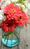 Heirloom Zinnia Coral Zinnia