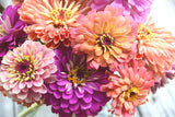 Mixed Zinnia Seeds in Pastel Colors