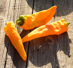 Golden Treasure Heirloom Pepper Seeds