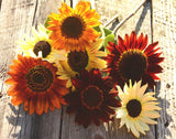 Heirloom Sunflowers in Mixed Colors