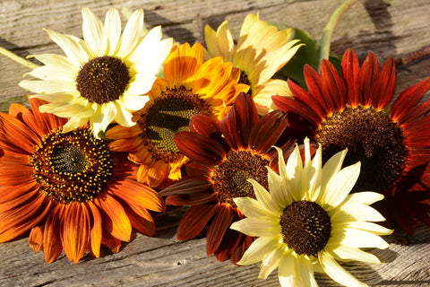 Mixed Varieties of Heirloom Sunflowers