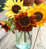 Heirloom Sunflower Autumn Beauty