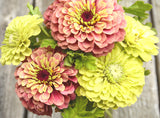 Giant Lime Zinnia and Queen Red Lime Zinnia Seeds