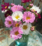 Double Cosmos Flower Seeds in Mixed Colors