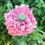 Peony Poppy Seeds, Pink Poppies