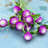 Rose bicolor Gomphrena Seeds Globe Amaranth Seeds