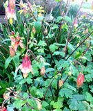 Aquilegia canadensis Red Flowered Columbines Native Plants