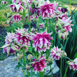 Double columbine flower seeds