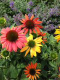 Echinacea pupurea seeds Mixed Colors
