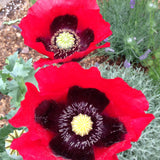 Papaver rhoeas Shirley Poppy Seeds Mixed Colors