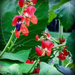 Scarlet Emperor Runner Beans Heirloom Pole Beans Great For Hummingbird Gardens