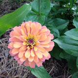 Heirloom Zinnia Seeds in Pastel Shades