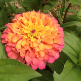 Zinnias in Mixed Colors Great for Cut Flower Gardens
