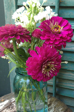 Giant Wine Zinnia Benary's Giant Wine Double Zinnia
