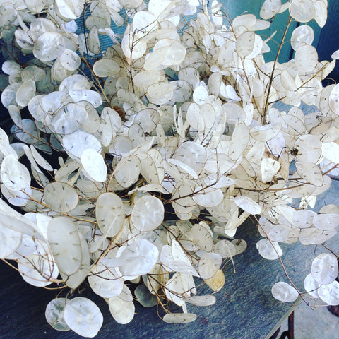 Money Plant Seed Lunaria Dried Flower Seed Pods