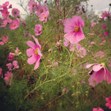 Pink Cosmos Wildflower Seeds