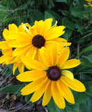 Perennial Seeds Black Eye Susan Indian Summer