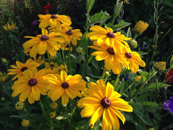 Indian Summer Rudbeckia Seeds