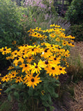 Low Maintenance Garden Plant Indian Summer Rudbeckia