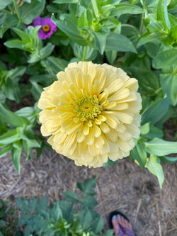 Isabellina Zinnia in the cutting garden