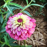 Zinnias for Butterfly Gardens- Queen Red Lime