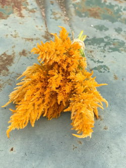 Sylphid Celosia Seeds, Yellow Plume Celosia for Cut Flowers and Butterfly Gardens
