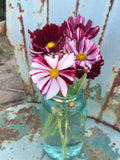 Velouette Cosmos Seeds for Cut Flower Gardens