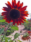 Velvet Queen Sunflower Seeds Red Sunflowers Great for Cut Flower Gardens